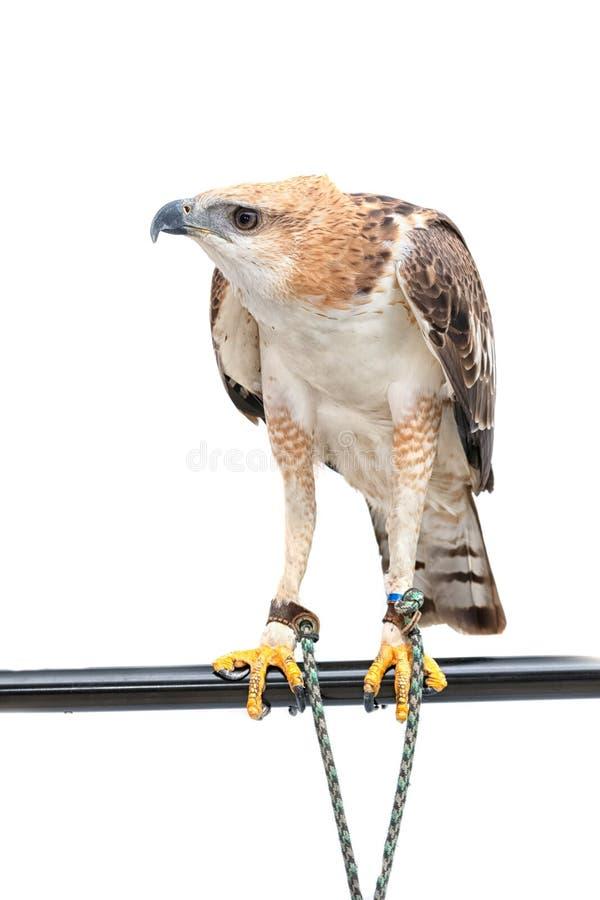 Retrato del halcón de la belleza imagen de archivo