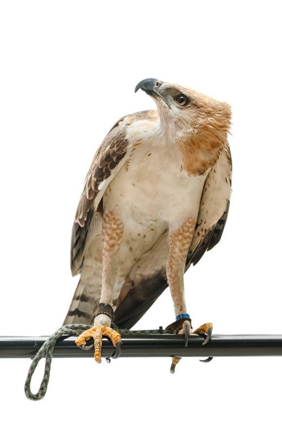 Retrato del halcón de la belleza fotos de archivo