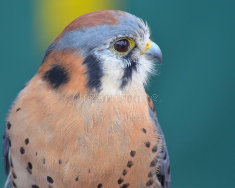 Retrato del halcón del cernícalo foto de archivo