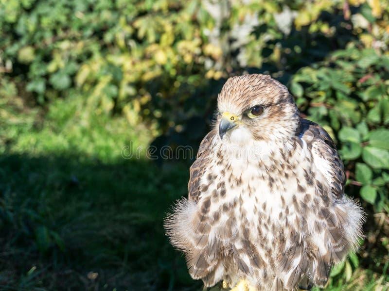 Retrato del halcón del saker también conocido como cherrug de Falco imagenes de archivo