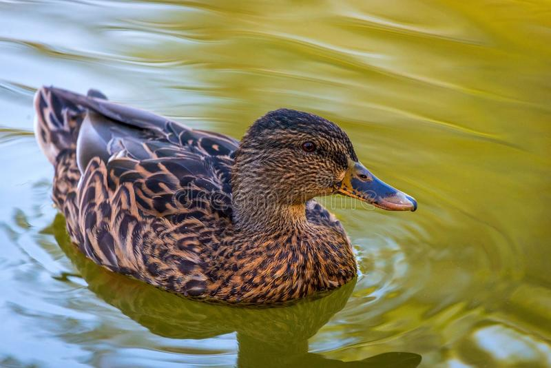 Retrato del hembras del pato en el agua fotografía de archivo libre de regalías