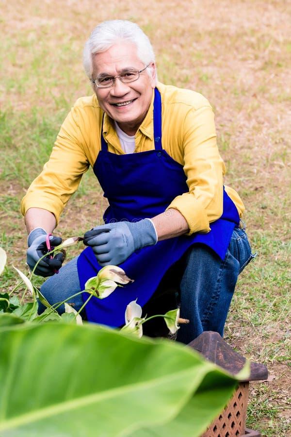 Retrato del hombre mayor asiático activo que sonríe mientras que verde de la poda imagen de archivo libre de regalías