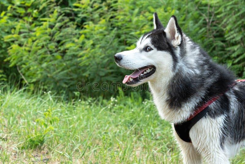 Retrato del husky siberiano con la boca abierta en el fondo de arbustos verdes fotos de archivo libres de regalías