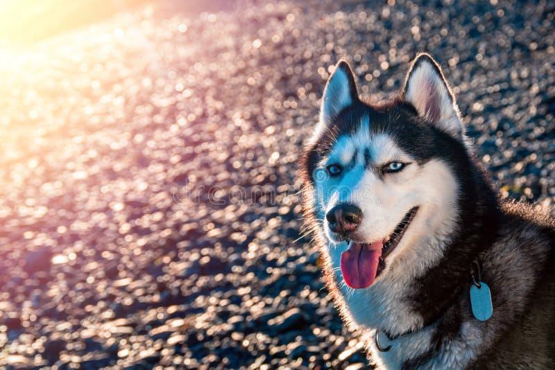 Retrato del husky siberiano con los ojos azules Sentada fornida hermosa del perro iluminada por el sol poniente caliente de la lu fotografía de archivo