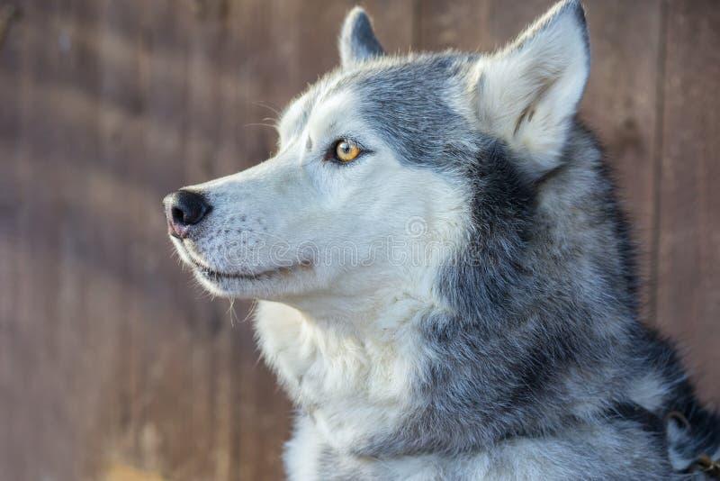 Retrato del husky siberiano en rayos del sol fotos de archivo