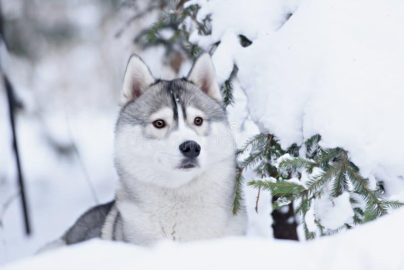 Retrato del invierno del perro del husky siberiano imagen de archivo