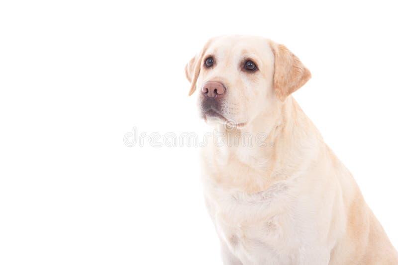 Retrato del isola que se sienta hermoso joven del perro (golden retriever) fotografía de archivo libre de regalías