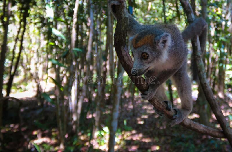 Retrato del lémur coronado en el árbol, región de Atsinanana, Madagascar imagen de archivo