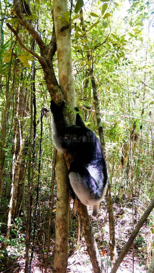 Retrato del lémur en el árbol, región de Atsinanana, Madagascar de Indri Indri foto de archivo libre de regalías