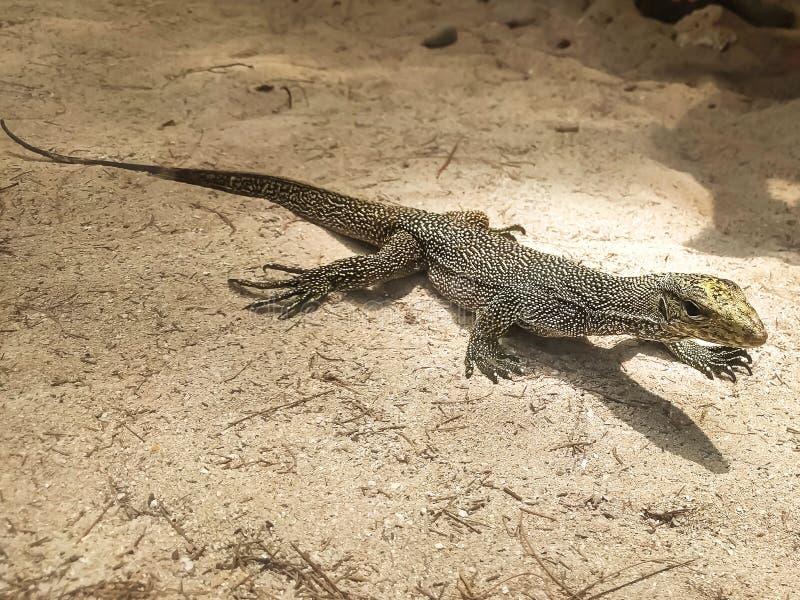 Retrato del lagarto de monitor vivo, varan en la tierra de la arena, Tailandia foto de archivo libre de regalías