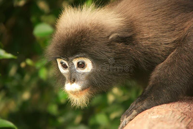 Retrato del langur con gafas, Ang Thong National Marine Park, T fotos de archivo libres de regalías