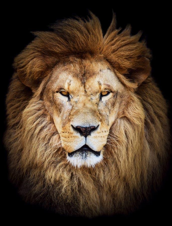 Retrato del león africano masculino hermoso enorme contra backg negro fotos de archivo