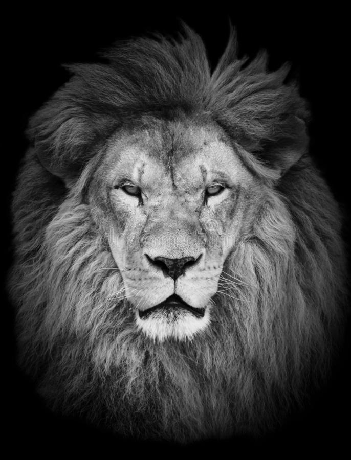 Retrato del león africano masculino hermoso enorme contra fondo negro fotos de archivo
