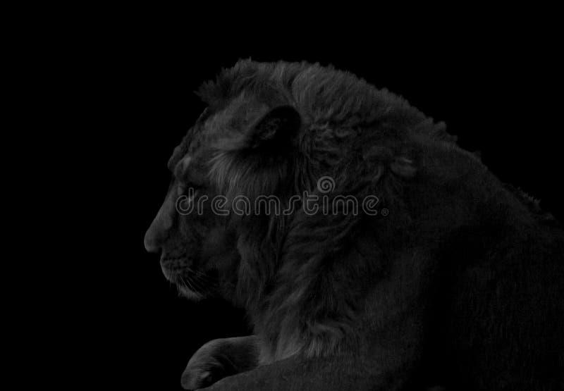Retrato del león blanco y negro imagen de archivo