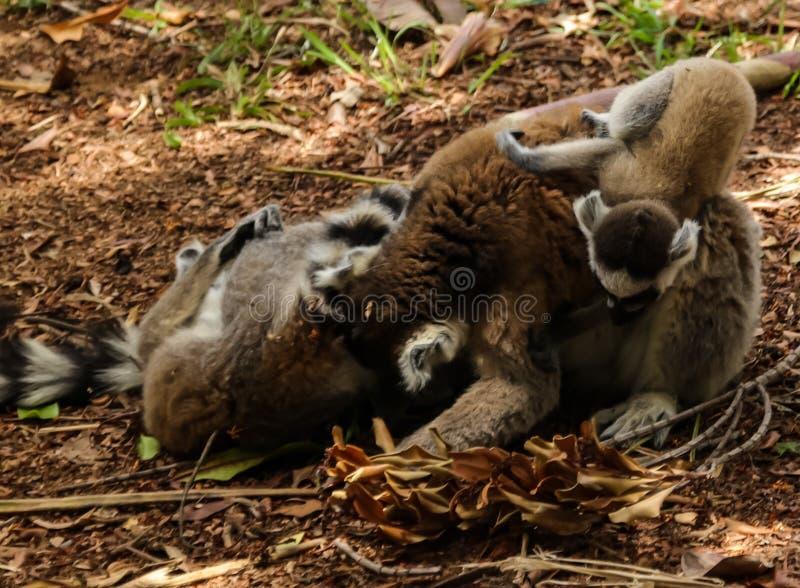 Retrato del lemur Lemur catta de cola anillada conocido como Rey Julien en el Parque Lemurs, Arivonimamo, Antananarivo, Madagascar fotografía de archivo libre de regalías