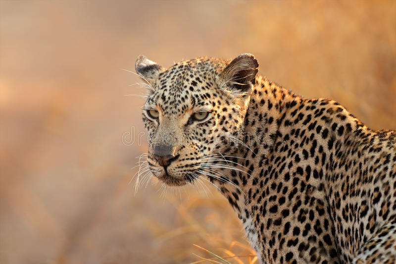 Retrato del leopardo foto de archivo