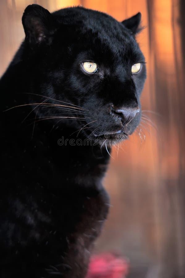 Retrato del leopardo fotografía de archivo libre de regalías