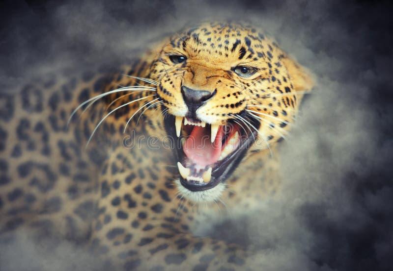 Retrato del leopardo en humo en fondo oscuro fotos de archivo libres de regalías