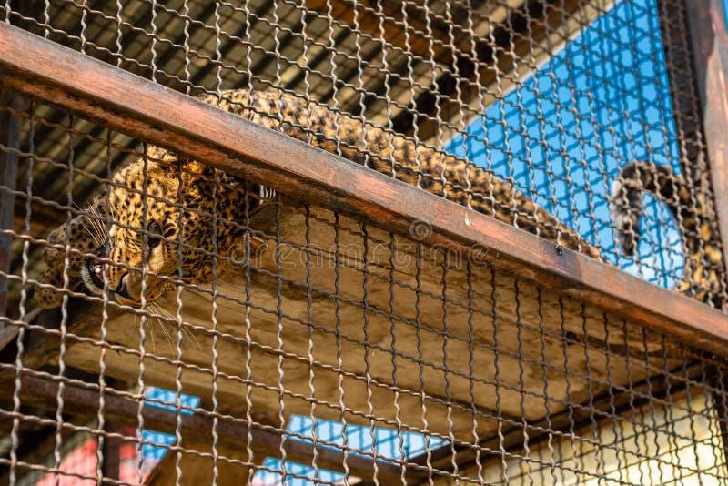 Retrato del leopardo indio, pardus del Panthera, en un parque zool?gico en la jaula al aire libre fotos de archivo