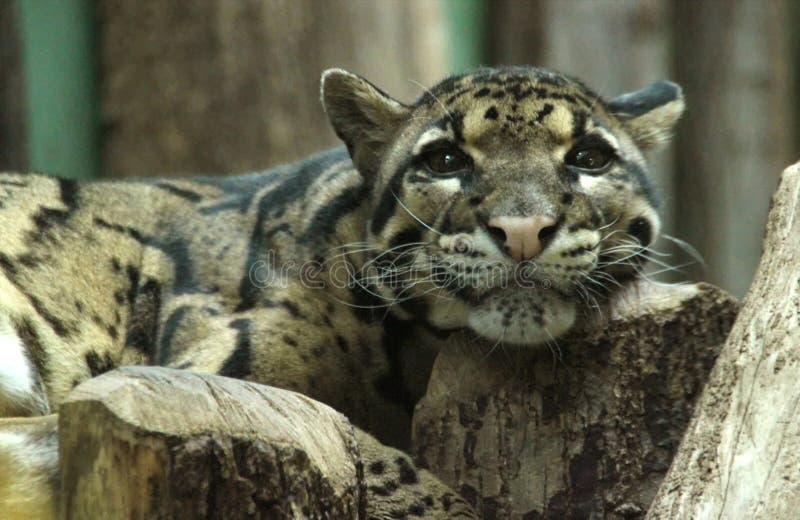 Retrato del leopardo nublado imagenes de archivo