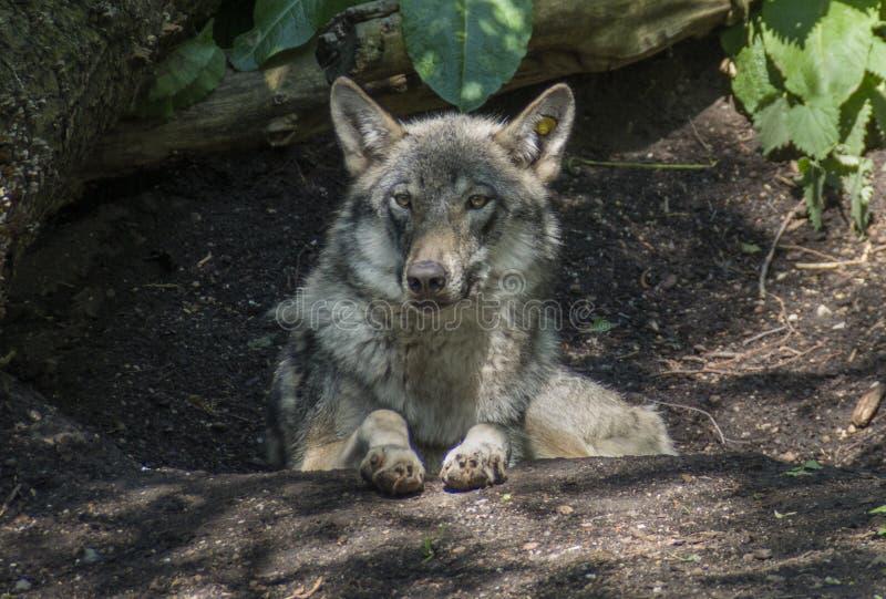 Retrato del lobo gris foto de archivo libre de regalías