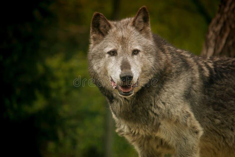 Retrato del lobo gris fotos de archivo libres de regalías