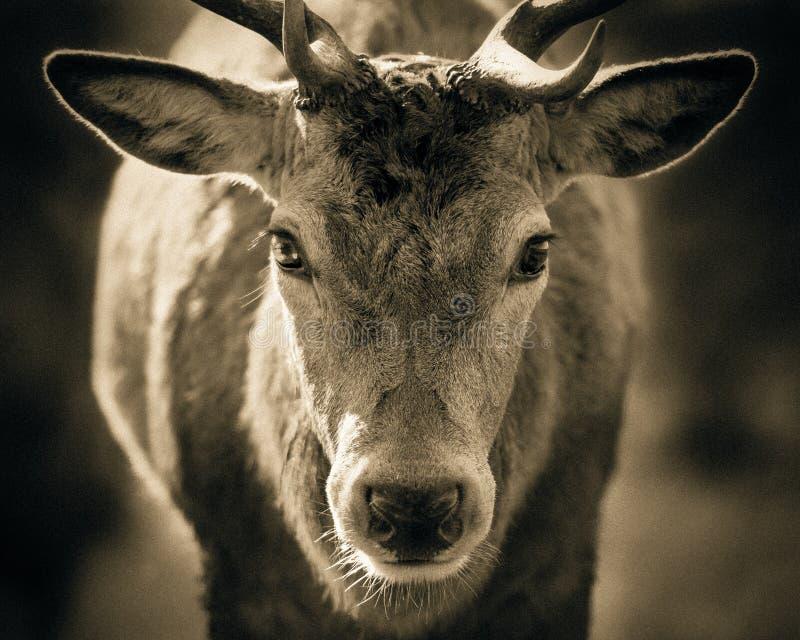 Retrato del macho adulto de los ciervos comunes fotografía de archivo libre de regalías