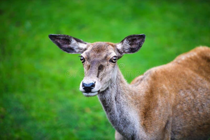 Retrato del macho adulto potente de los ciervos comunes en el bosque de Autumn Fall imagen de archivo libre de regalías