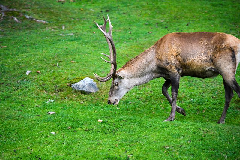 Retrato del macho adulto potente de los ciervos comunes en el bosque de Autumn Fall foto de archivo