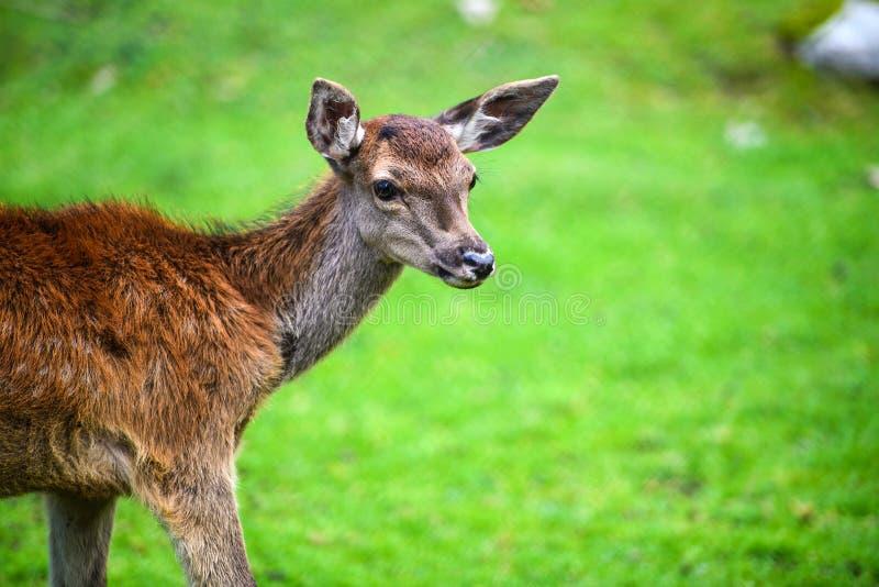Retrato del macho adulto potente de los ciervos comunes en el bosque de Autumn Fall foto de archivo libre de regalías