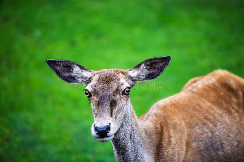 Retrato del macho adulto potente de los ciervos comunes en el bosque de Autumn Fall fotos de archivo