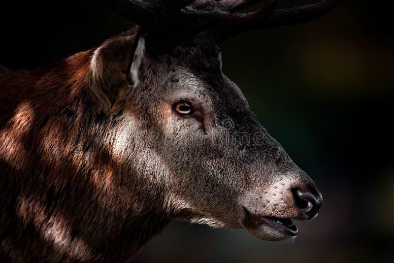 Retrato del macho de los ciervos comunes en otoño imagen de archivo libre de regalías