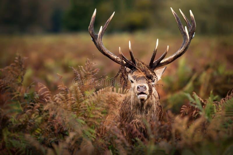 Retrato del macho dominante de los ciervos comunes fotos de archivo