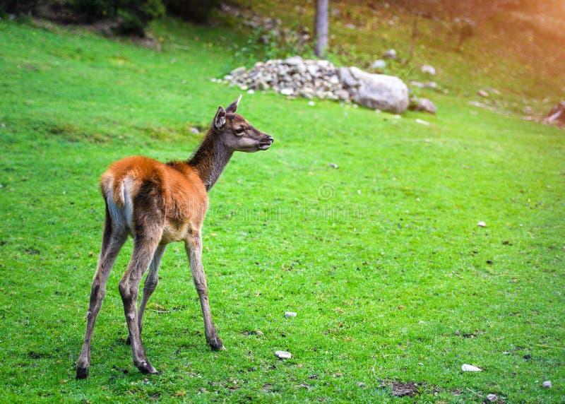 Retrato del macho joven potente de los ciervos comunes en el bosque de Autumn Fall fotografía de archivo