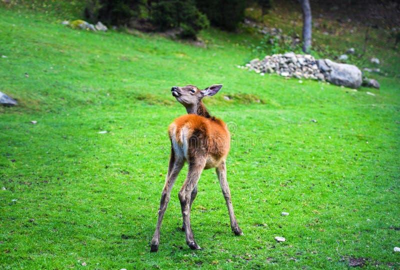 Retrato del macho joven potente de los ciervos comunes en el bosque de Autumn Fall imagen de archivo