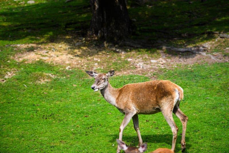Retrato del macho joven potente de los ciervos comunes en el bosque de Autumn Fall fotografía de archivo libre de regalías