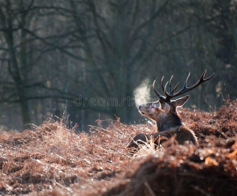 Retrato del macho majestuoso de los ciervos rojos en caída del otoño fotografía de archivo libre de regalías