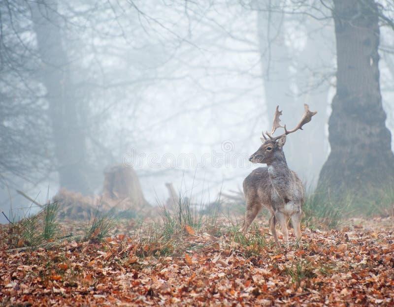 Retrato del macho majestuoso de los ciervos rojos en caída del otoño foto de archivo libre de regalías