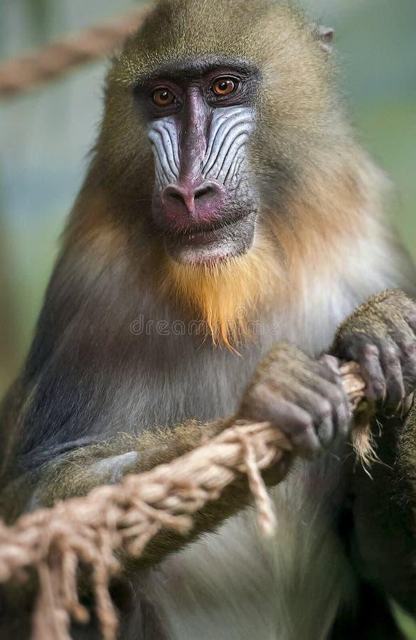 Retrato del mandril, esfinge del Mandrillus, primate de la familia del mono del Viejo Mundo fotografía de archivo