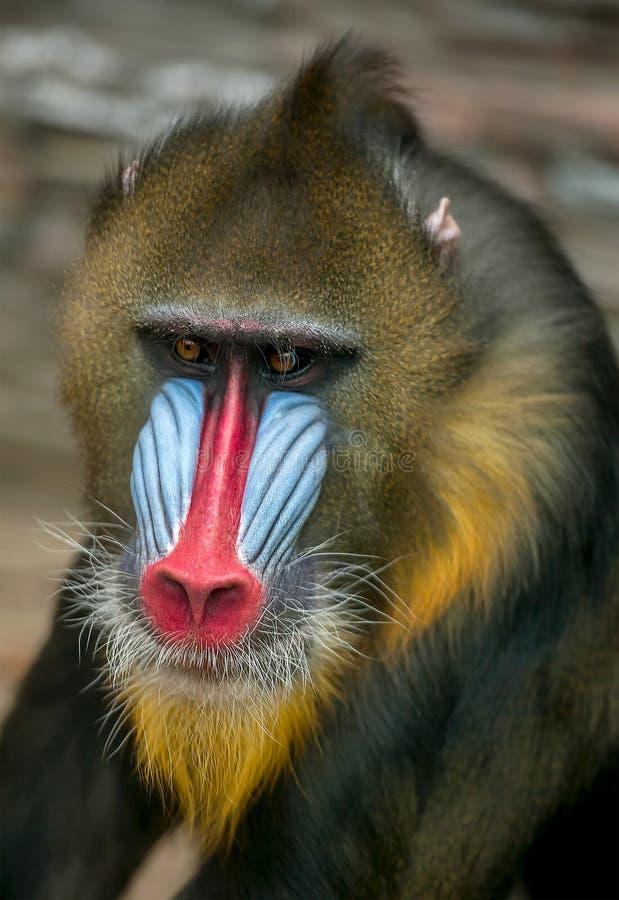Retrato del mandril, esfinge del Mandrillus, primate de la familia del mono del Viejo Mundo imagen de archivo libre de regalías