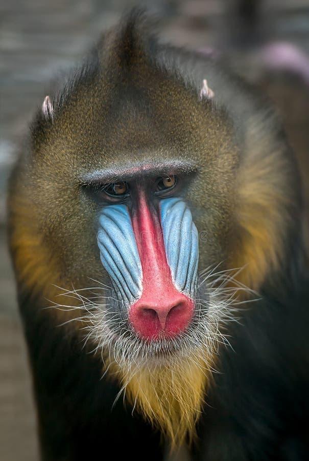 Retrato del mandril, esfinge del Mandrillus, primate de la familia del mono del Viejo Mundo foto de archivo libre de regalías