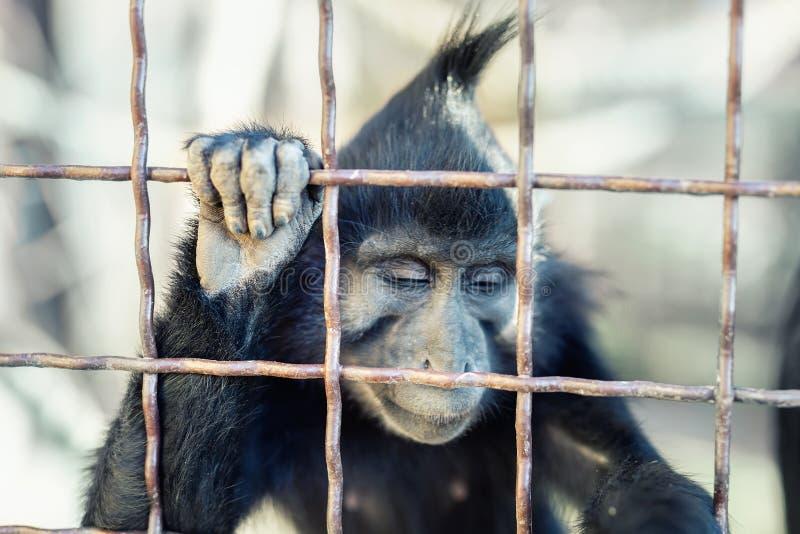 Retrato del mokey salvaje triste que mira desesperado a trav?s de jaula del metal Mono enjaulado con la expresi?n deprimida de la imagen de archivo