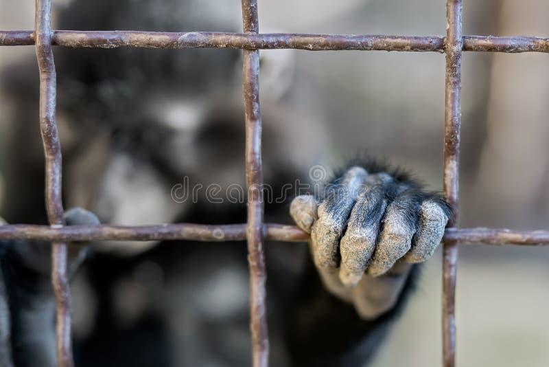 Retrato del mokey salvaje triste que pasa desesperado la mano a través de jaula del metal Mono enjaulado con la expresión deprimi foto de archivo