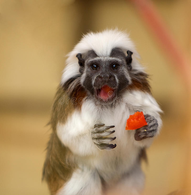 Retrato del mono del Tamarin foto de archivo