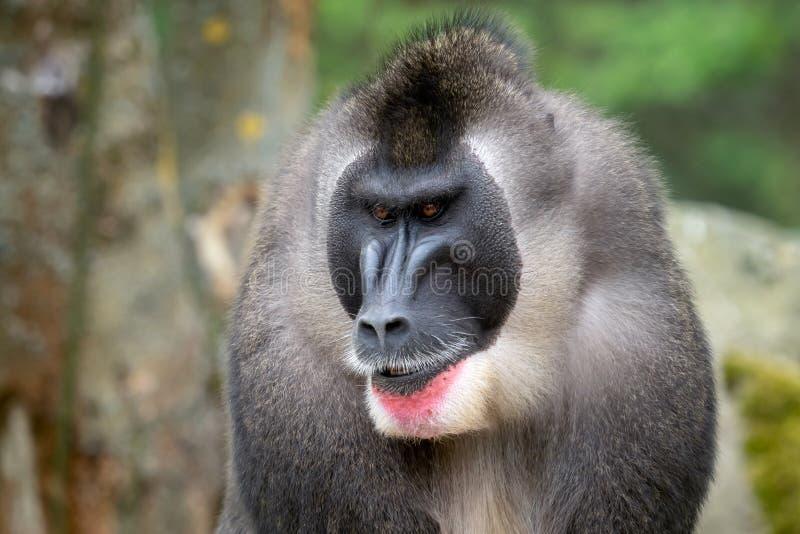 Retrato del mono del taladro, leucophaeus del Mandrillus imagenes de archivo