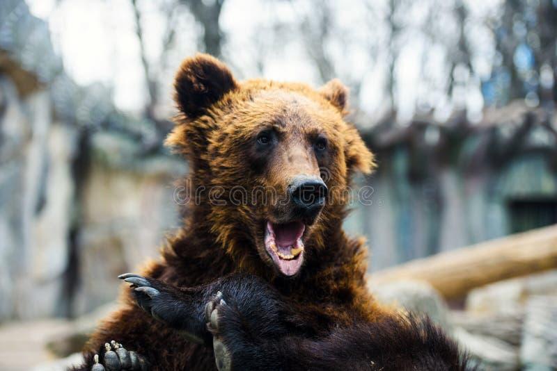 Retrato del oso marrón joven imagen de archivo libre de regalías