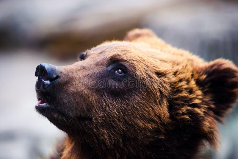 Retrato del oso marrón joven fotos de archivo