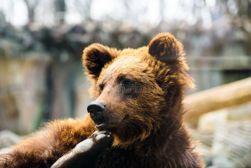 Retrato del oso marrón joven imagenes de archivo