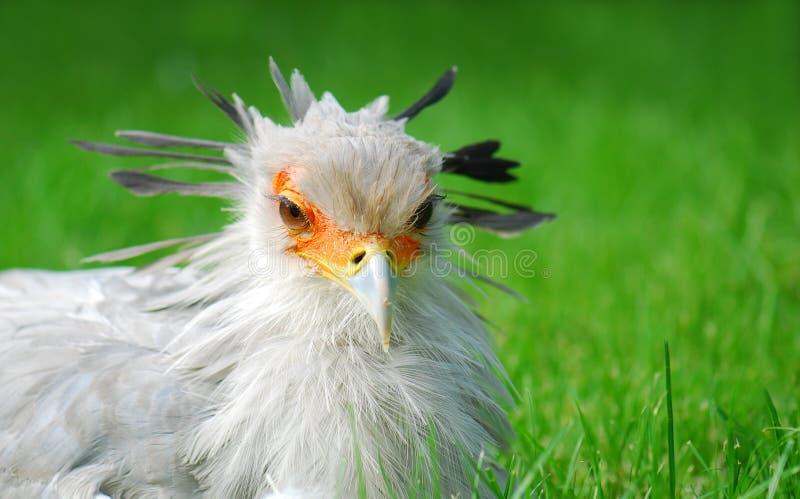 Retrato del pájaro de secretaria foto de archivo