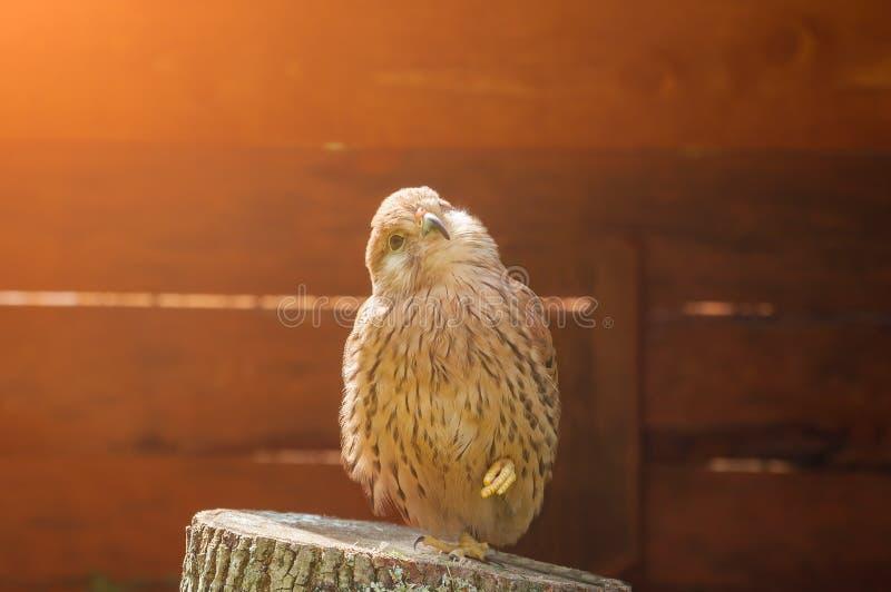 Retrato del pájaro del cernícalo que se sienta en un tocón con el pie fruncido y que toma el sol en el sol imagenes de archivo